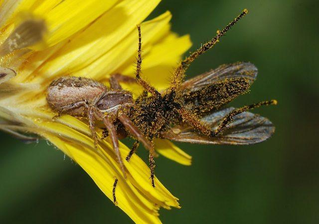 Un ragno ghermisce la sua preda: foto di Alvesgaspar https://it.wikipedia.org/wiki/Araneae#/media/File:Spider_and_fly_March_2008-2.jpg
