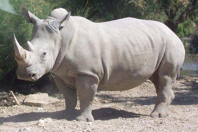 Vince, il rinoceronte bianco ucciso in uno zoo per il suo corno: qui doveva essere al sicuro