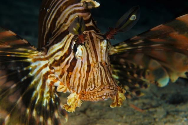 Avvistato in acque italiane pesce scorpione. E non è buona notizia