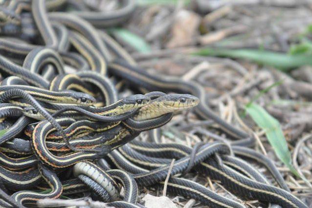 I serpenti maschi sono ossessionati dal sesso e fanno orge fino a morire