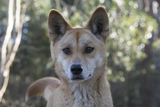 Sandy, il dingo con il DNA più 'figo' del mondo: perché è così interessante e unico