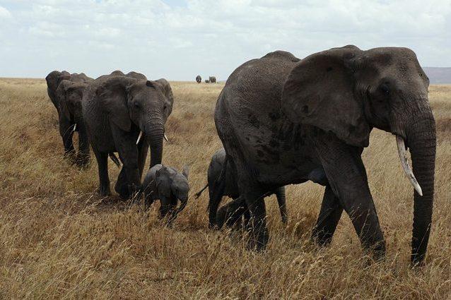 Le feci degli elefanti proteggono la biodiversità e gli equilibri della savana: ecco come