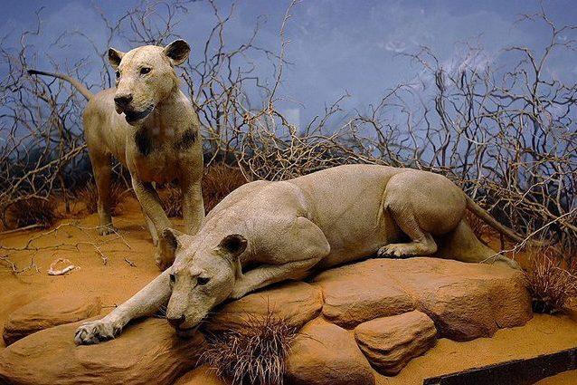I leoni di Tsavo uccisero e divorarono decine di uomini a causa del mal di denti