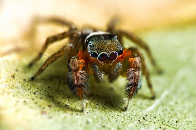 Saliticidae jotus auripes