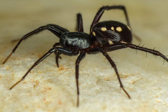 Zodariidae-Habronestes