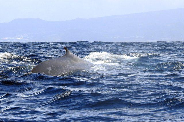 L'inconfondibile pattern di una balenottera azzurra. Credit: Andrea Centini