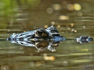 Il predicatore divorato dai coccodrilli mentre cammina sulle acque: genesi di una bufala