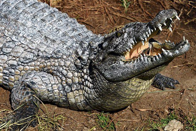 Esemplare di coccodrillo (Getty).
