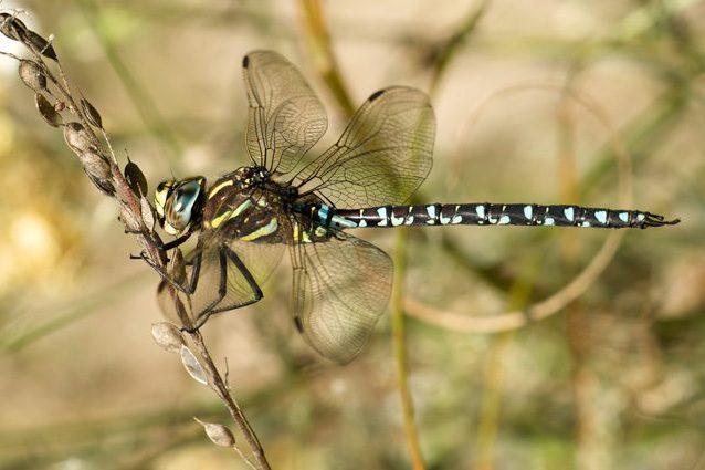 Si fingono morte pur di non fare sesso: le femmine di libellula non ne possono più