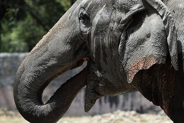 Elefante (Getty).