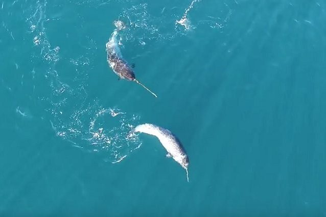 Il narvalo utilizza la sua unica zanna per cacciare le prede in mare