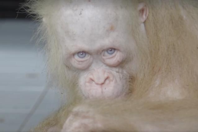 Rarissimo esemplare di orango albino liberato in Borneo: era in gabbia, ora sta meglio