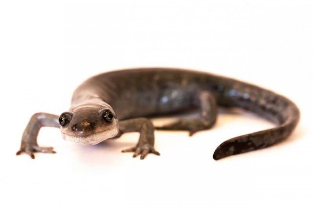 Carta da parati salamander di fuoco salamandra salamandra su