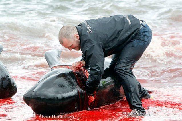 credit: Sea Sheperd / Alvur Haraldsen