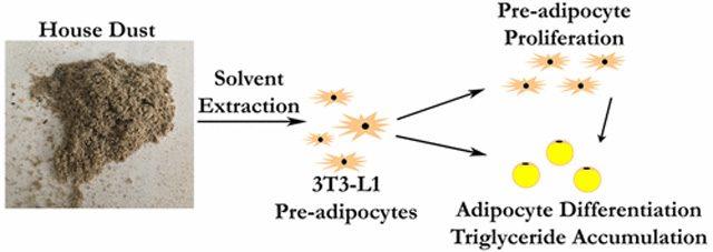 Gli effetti della polvere sugli adipociti. credit: Duke University