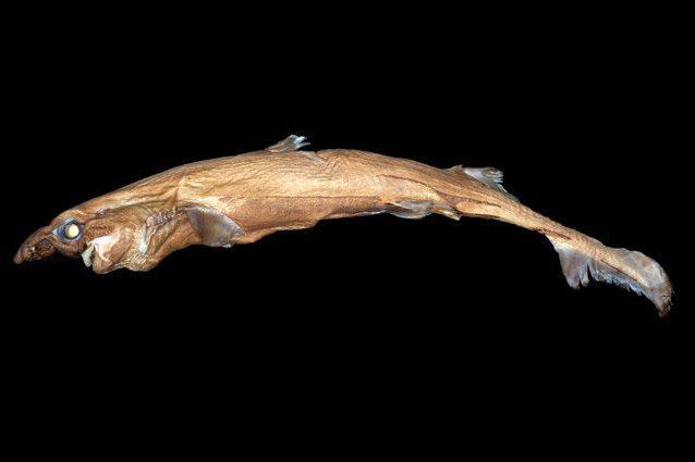 Lo squalo lanterna che brilla nel buio: è lungo 40 centimetri e pesa un chilogrammo