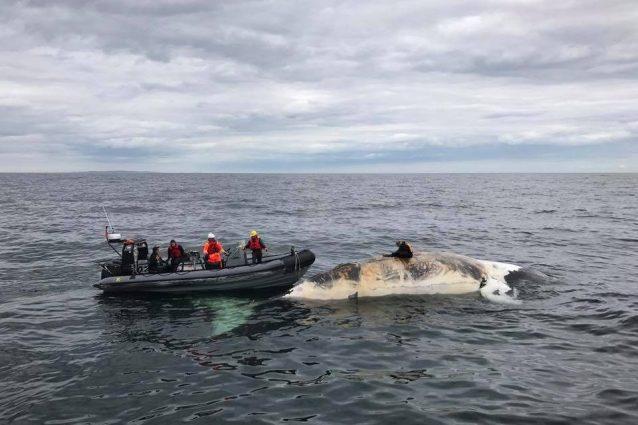 Strage di balene franche nell'Atlantico a causa dell'uomo: ne restano solo 500