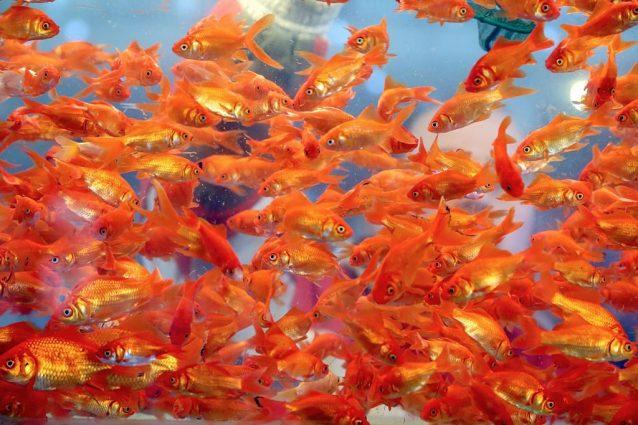 Pesci rossi scoperto come fanno a sopravvivere senza ossigeno for Quanto vivono i pesci rossi