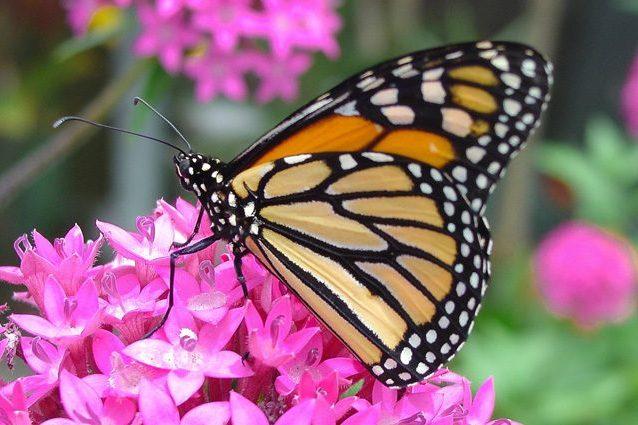 Le farfalle monarca si stanno estinguendo: da 10 milioni a 300mila esemplari in 35 anni