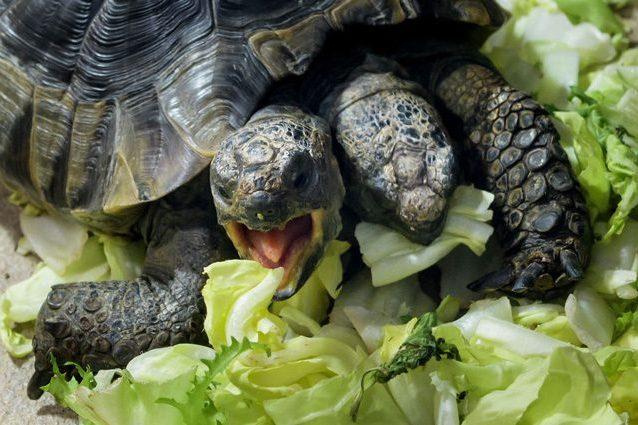 Janus, la tartaruga con due teste, ha compiuto 20 anni: è record per un rettile bicefalo
