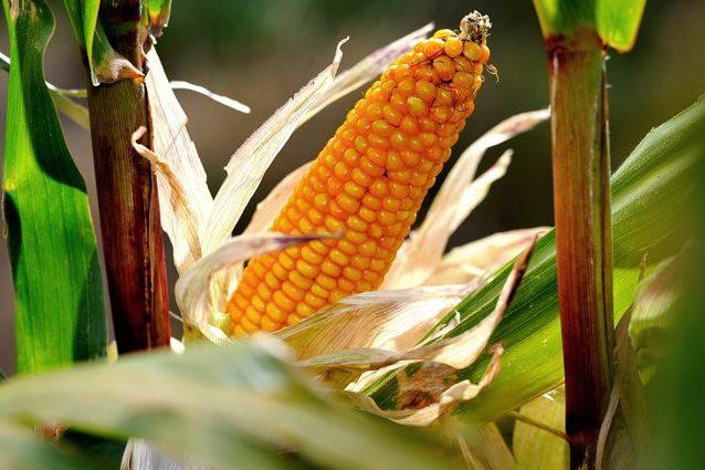 Farina per polenta ritirata dal mercato: