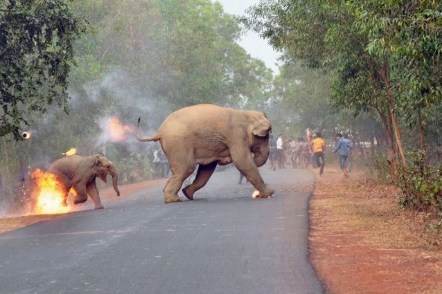 Cucciolo e mamma di elefante avvolti dalle fiamme: l'immagine choc mostra la crudeltà umana