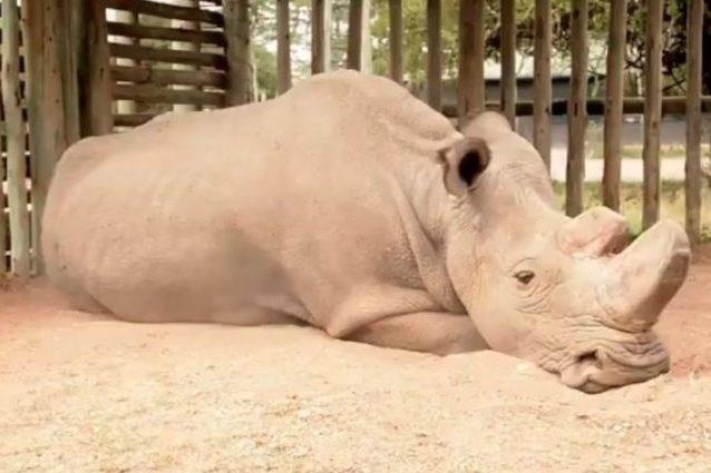 Che faccia ha l'estinzione? Quella di Sudan, l'ultimo rinoceronte bianco settentrionale