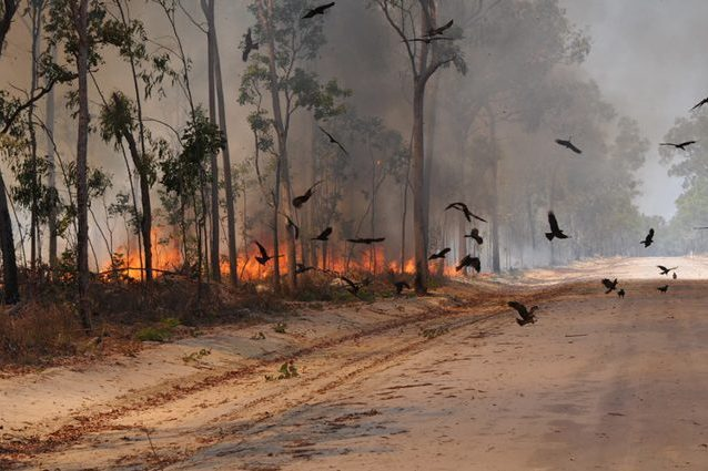 Perché i falchi in Australia danno fuoco alle foreste: l'idea pericolosa ma geniale