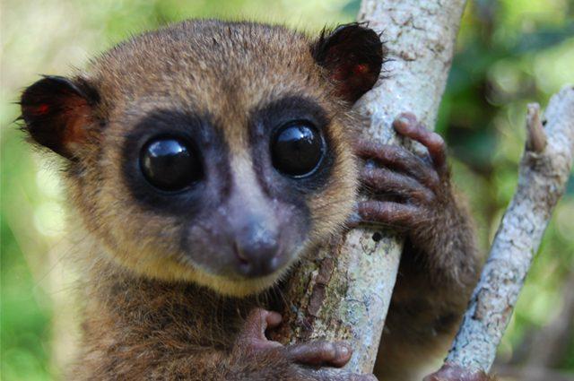 Il lemure nano di groves appena stato scoperto e ha gi - Animaux a gros yeux ...
