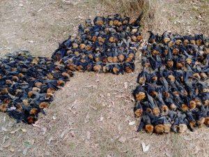 Centinaia di pipistrelli morti 'cotti' dal caldo stanno cadendo dagli alberi in Australia