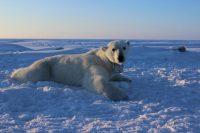 Scoperta popolazione di mila orsi polari in buona salute ottime