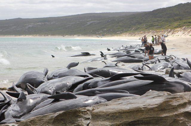 Tragico spiaggiamento di balene pilota: morte più di 140, salve solo 6