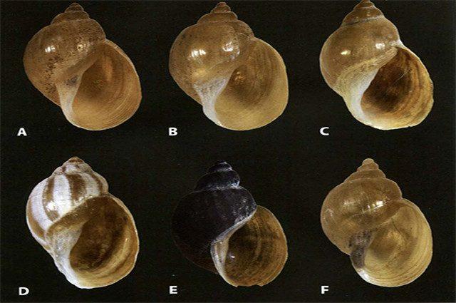 Le lumache 'aliene' asiatiche sono arrivate da noi: cos'è la Fascioliasi che ci mangia il fegato