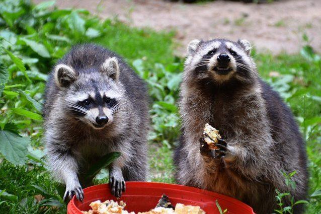 La Convivenza Con Gli Animali Selvatici Non è Sempre Pacifica, E Spesso  Quelli Più Intelligenti, Intraprendenti E Che Si Adattano Meglio Alla  Nostra ...