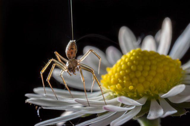 I ragni sanno usare l'elettricità per volare: il loro 'potere' si chiama ballooning