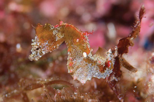 Assiste al parto di un cavalluccio marino le affascinanti for Immagini di cavalluccio marino