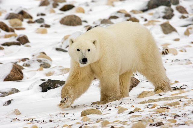 Il ghiaccio più antico dell'Artico si sta rompendo: grande preoccupazione per gli orsi polari