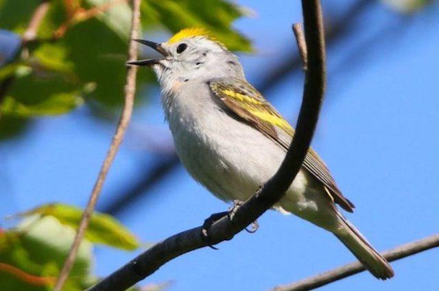 Questo uccello ibrido è di tre specie diverse e rischia di restare single a vita