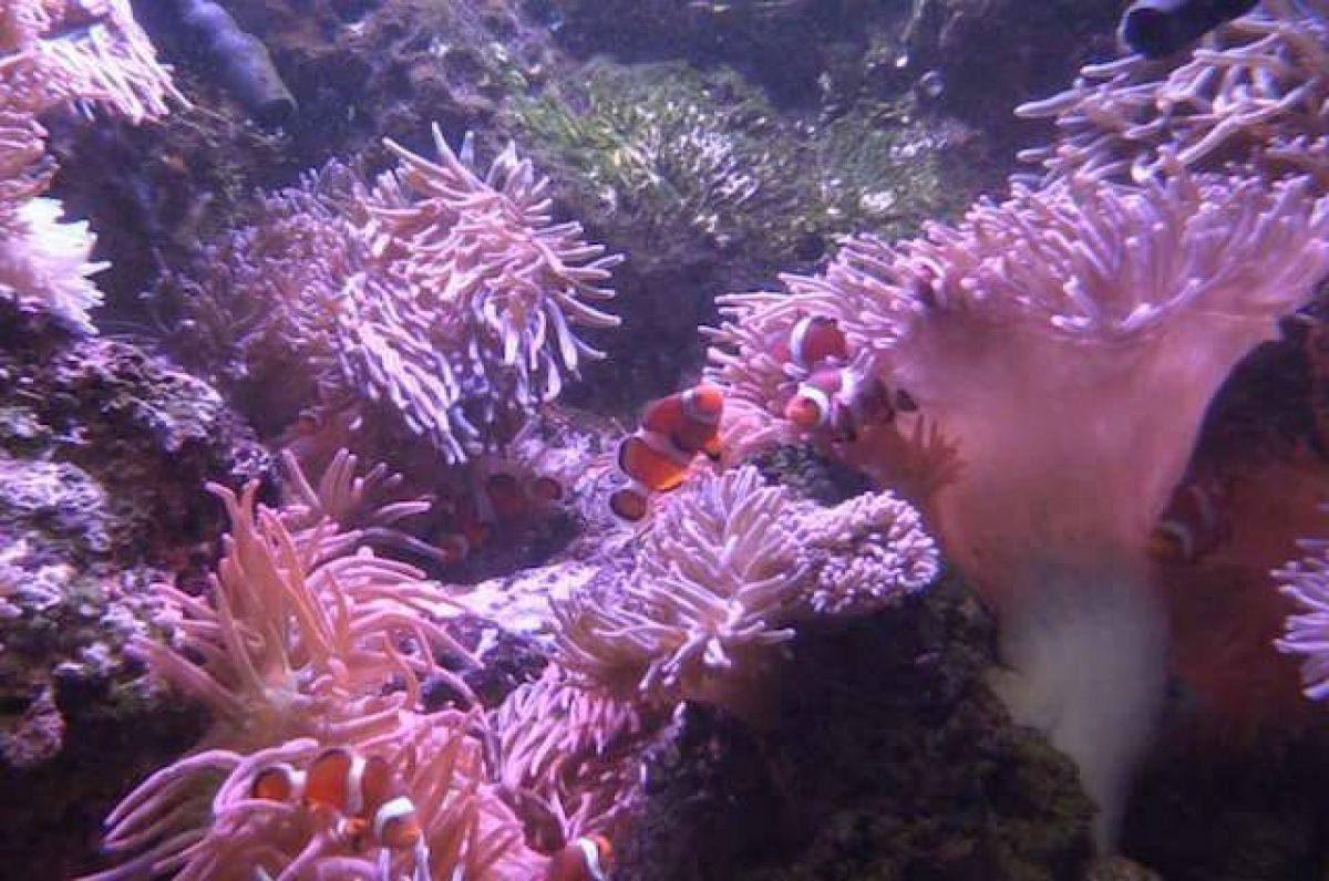 Dove Vive Il Pesce Pagliaccio.Nemo Sa Come Non Farsi Uccidere Dall Anemone Svelato Il Segreto
