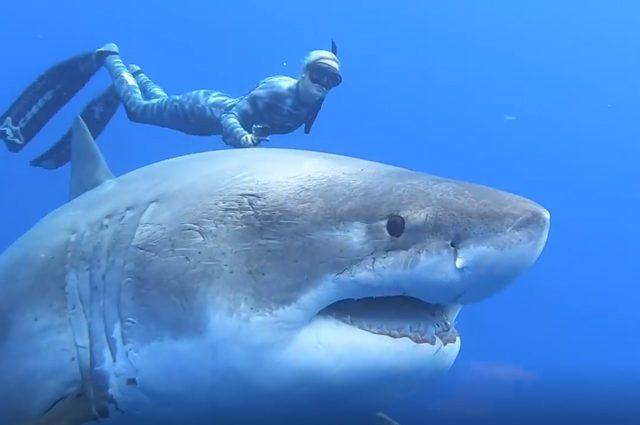 Riapparsa deep blue lo squalo bianco pi grande mai for Disegno squalo bianco
