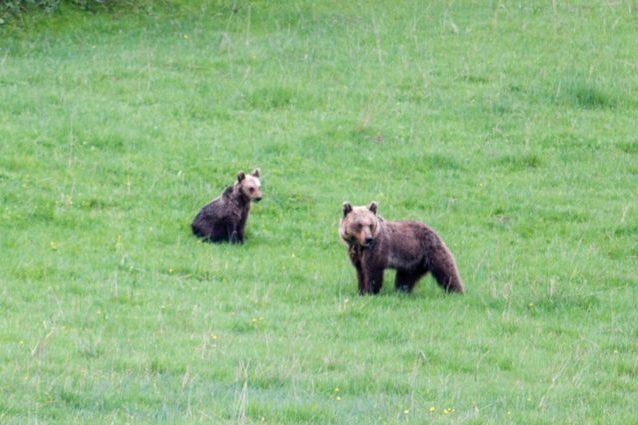 Cosa fare (e NON fare) quando vediamo un orso