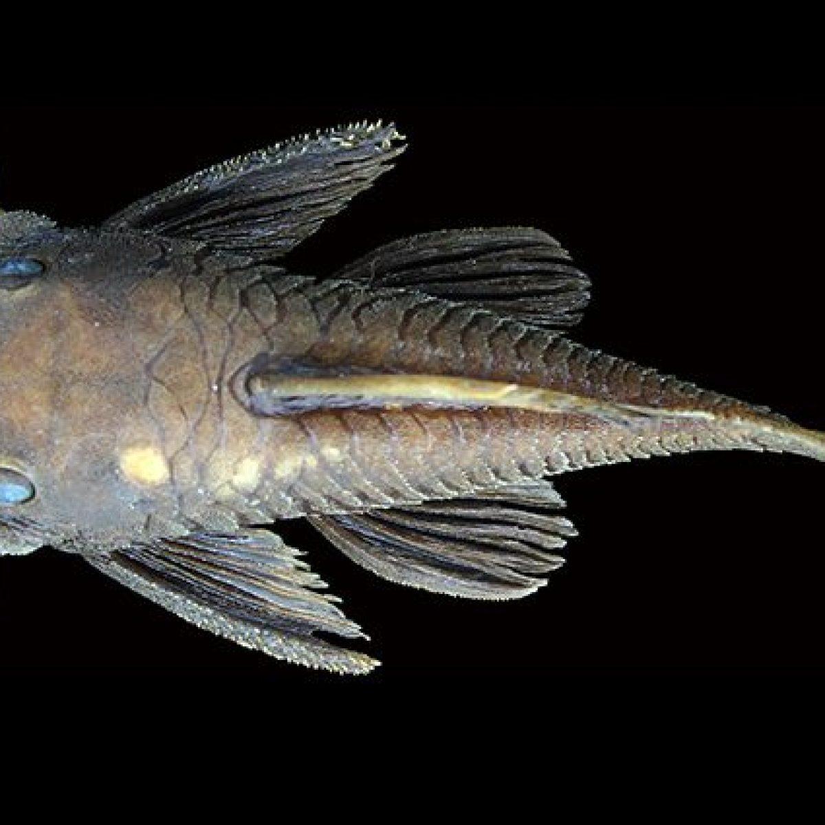 Scoperte Sei Nuove Specie Di Pesce Gatto Con La Testa Piena Di