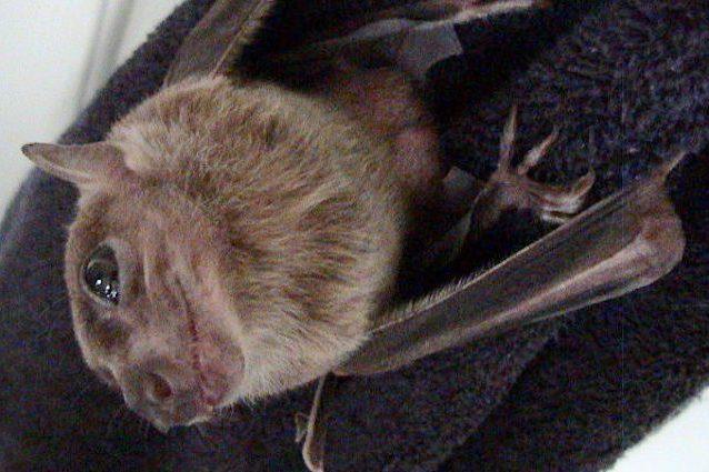 Le mamme dei pipistrelli egiziani offrono sesso in cambio di