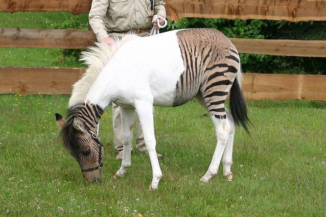 Cos'è uno zebroide, il curioso ibrido tra un cavallo e una z