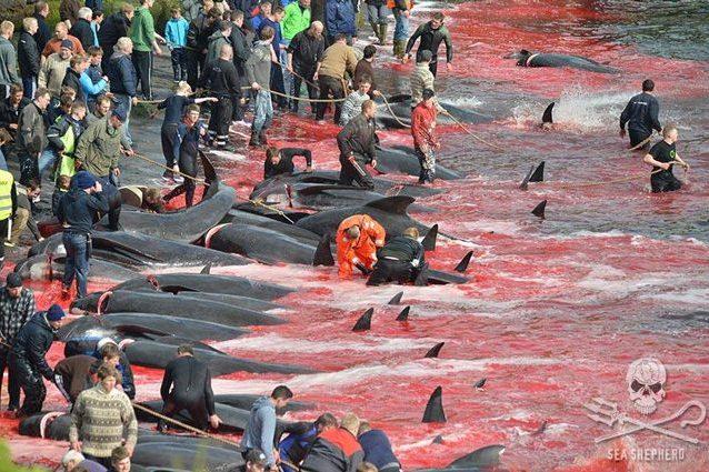Altre 30 balene pilota massacrate con lame e uncini alle Far