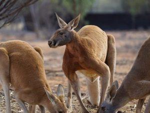 il canguro ha un pene