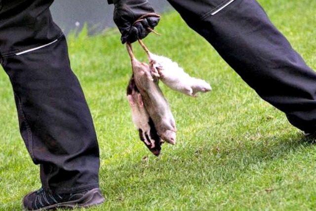 Ultras choc in Danimarca: topi morti lanciati contro i calciatori